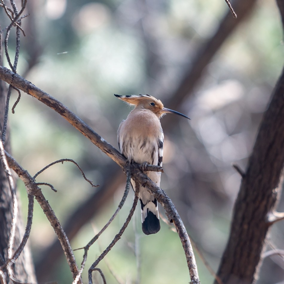 Hoopoe Bird