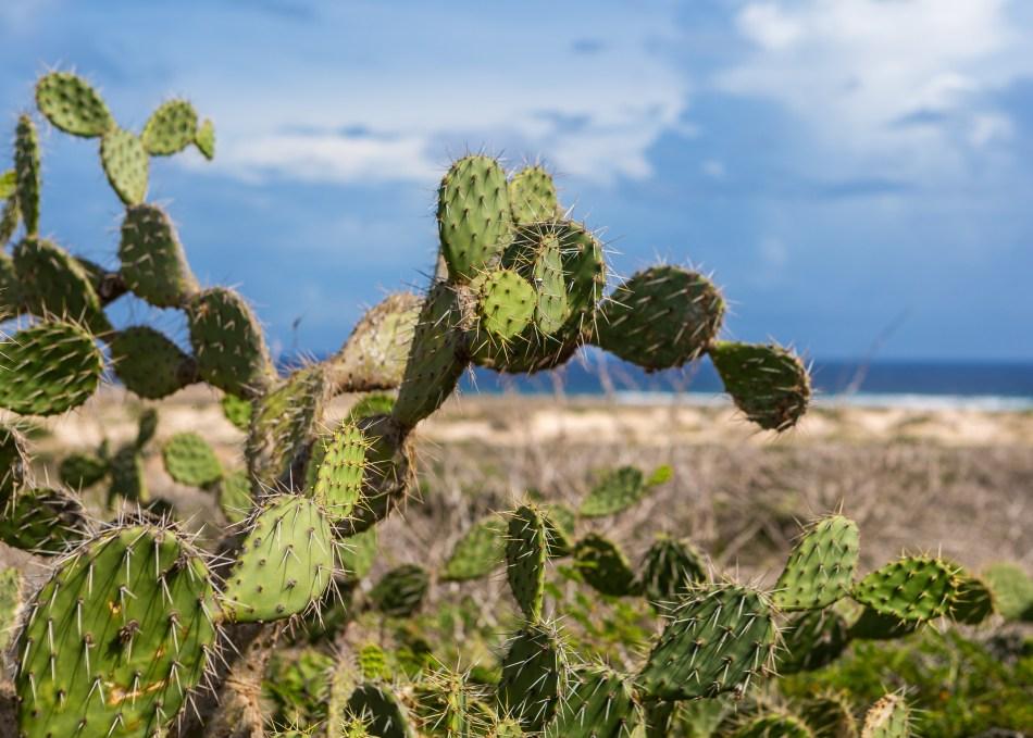 Aruba Cactus