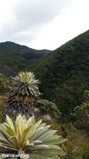 Frailejones en cerros bbogotanos