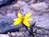 Te quiero amarillo