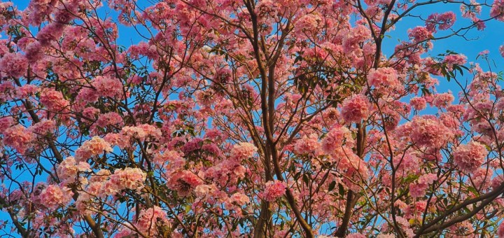 PINK TRUMPET TREES