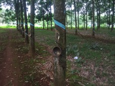 rubber trees 2