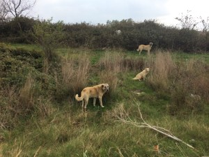 The feral dogs that wander both countryside and towns