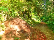 Massive ant hills are all over the Shellburg Falls and Silver Creek Falls trail systems.