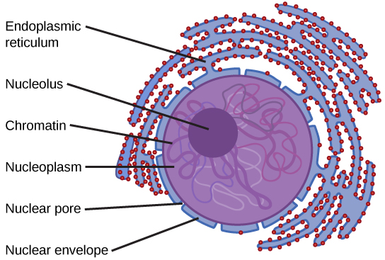 eukaryotic endomembrane system cell diagram spa wiring schematic difference between cytoplasm and nucleoplasm | definition, physical nature, function, comparison