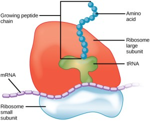 Difference Between Lysosome and Ribosome | Structure, Function, Comparison