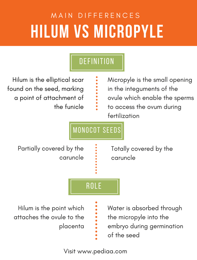 hight resolution of difference between hilum and micropyle comparison summary