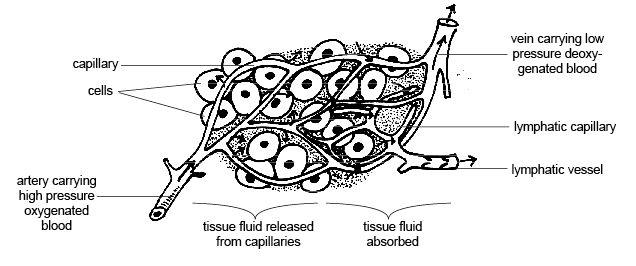 diagram of interstitial fluid