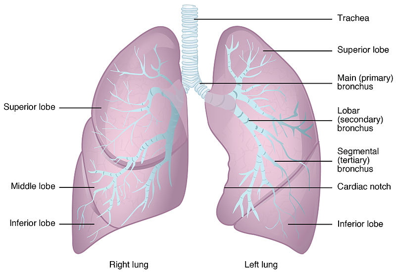 Difference Between Right and Left Lung | Definition ...