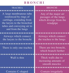 difference between trachea and bronchi [ 799 x 1037 Pixel ]