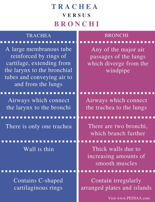 small resolution of difference between trachea and bronchi