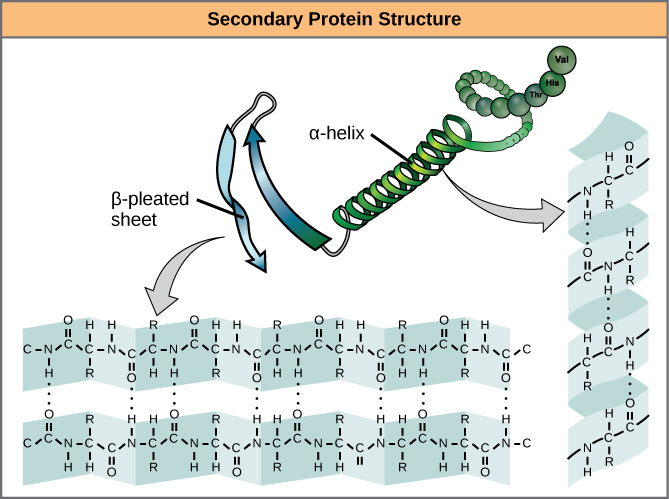 Difference Between Primary Secondary and Tertiary Structure of Protein  PediaaCom