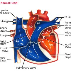 Anatomical Heart Diagram Scatter Line Of Best Fit Normal Anatomy And Blood Flow Pediatric