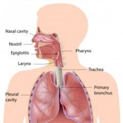 The Lung Anatomy Diagram Label Haltech E8 Wiring Of Inside Lungs All Data A Child S Pediatric Pulmonologists Small
