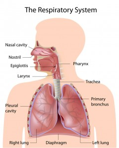 diagram of the nose and its functions simple oxygen cycle anatomy a child s lung pediatric pulmonologists breathing