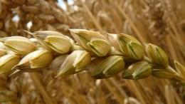 Barco con trigo ruso arribará a Venezuela - Barco con trigo ruso arribará a Venezuela