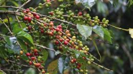 Productores de café tendrán nuevos incentivos - Productores de café tendrán nuevos incentivos