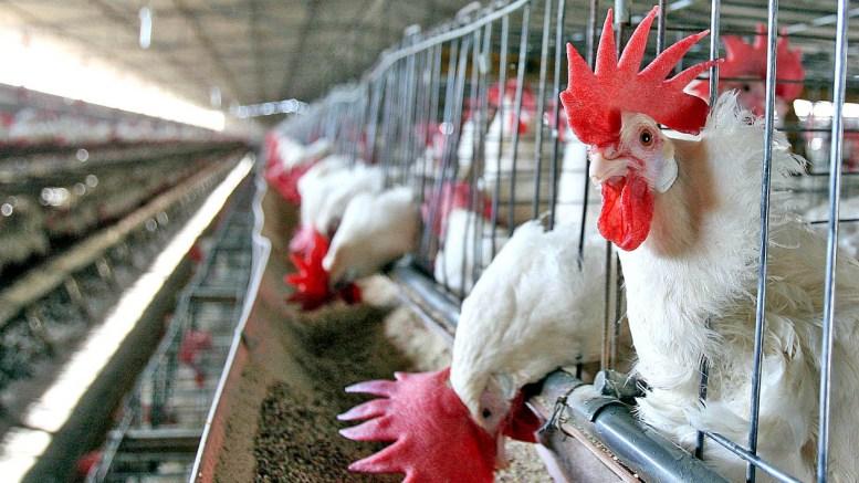 Importaciones avícolas estadounidenses dicen adiós a las tarifas en China - Importaciones avícolas estadounidenses dicen adiós a las tarifas en China