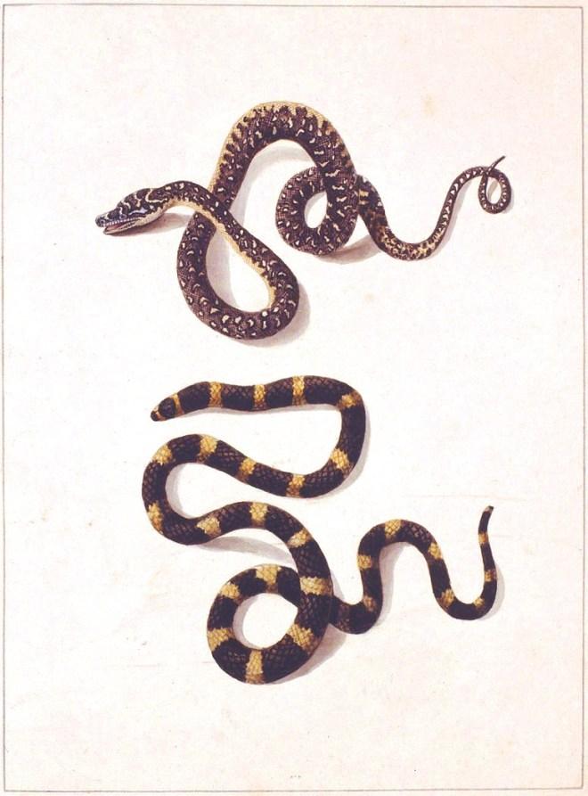 Animal-Australia-Reptile-Snakes