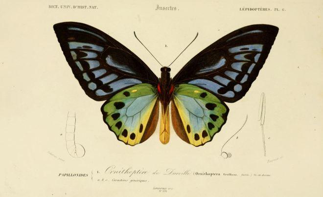 dessin_insectes_0173_papillon_ornithoptere_de_durville_-_ornithoptera_urvilliana