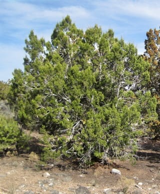 tree guide pajarito environmental