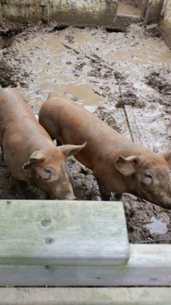 As happy as a pig in...