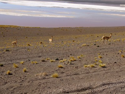 Vicunas. Wild cousins of Lamas living above 3000 meters high.