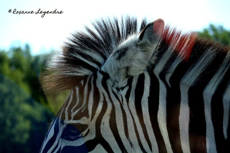 Zèbre au Parc Zoologique de Thoiry | Photographer : Roxanne Legendre