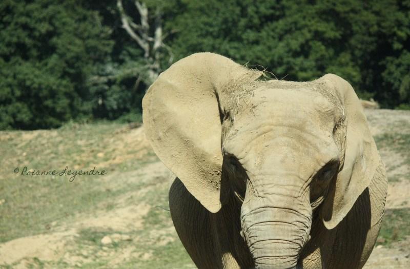 Éléphant au Parc Zoologique de Thoiry | Photographer : Roxanne Legendre