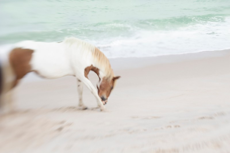 www.pegasebuzz.com | Equestrian photography : Jan Lakey - Wild Horses on Assateague Island.