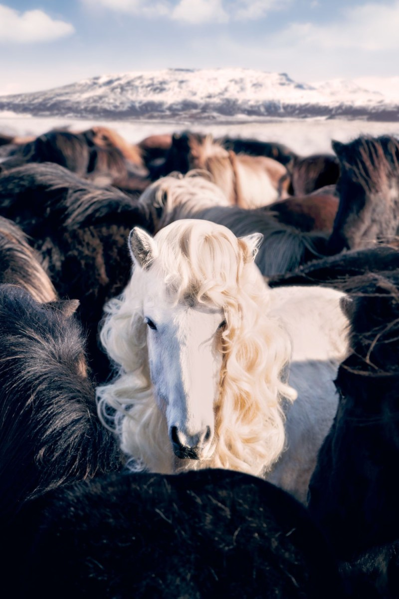 www.pegasebuzz.com | Equestrian photography : Gray Malin - Icelandic Horses.