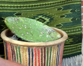7.11 cochineal bugs growing on cactus, used for red dye