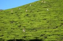 10.3 women picking tea