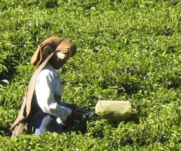 10.4 side view tea picker