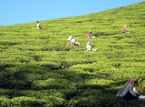10.5 more tea pickets