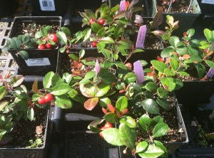 Gaultheria procumbens teaberry or wintergreen