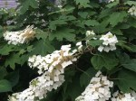 oak leaf hydrangea  (bee in middle)