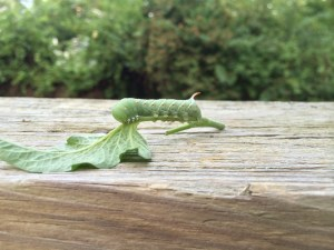 Tomato hornworm, plucked off plant