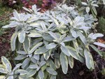 variegated sage in September, changing from light green to gray