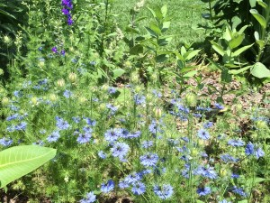 love-in-a-mist at Green Spring Gardens