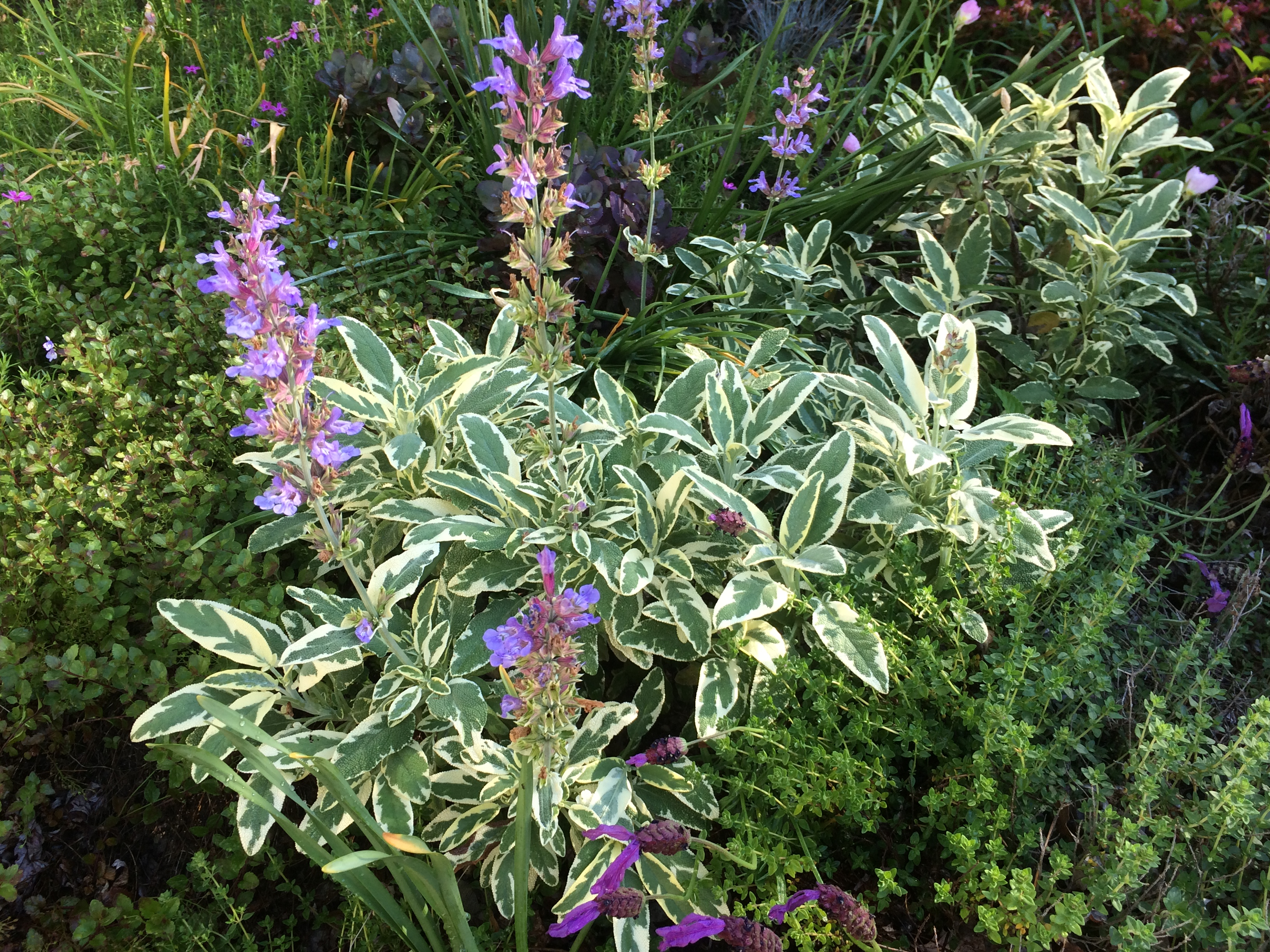Variegated Sage You Can Grow That Pegplant