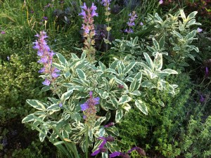variegated sage in May with purple flowers