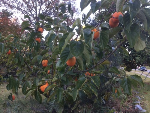 persimmon tree in neighbor's yard  Virginia