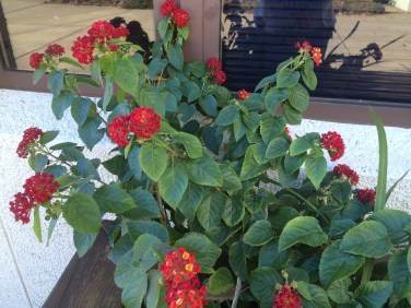 Lantana camara at library on November 15