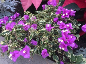 Blueberry Ice bougainvillea