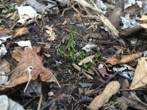 chives coming back in early March