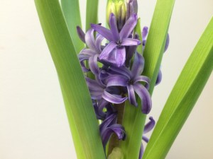 Hyacinth Blue Pearl, second flush of flowers