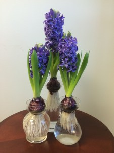 Hyacinth Blue Pearl in Forcing Vases