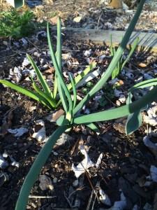 walking onion stems in March