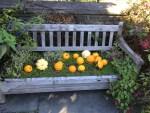 pumpkins on a bench Dumbarton Oaks